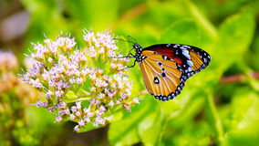 Common tiger butterfly and flower. Thailand Stock Images