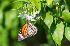 Common tiger butterfly hanging on wild water plum flower Stock Photos