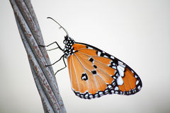 Common tiger butterfly. On old cable Stock Photos