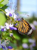 Common Tiger Butterfly On Flower. Royalty Free Stock Photo