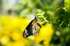 Common tiger butterfly. Perched on the leaf Royalty Free Stock Photos