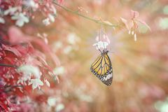 Common tiger butterfly resting on white flower. In garden, growth stock image