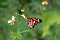 Common tiger butterfly Stock Photography