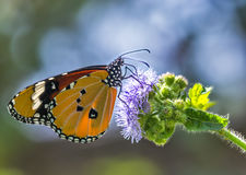 Common Plain tiger butterfly Stock Photos