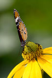 Common tiger butterfly. On yellow flower Stock Images
