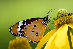 Common tiger butterfly. On yellow flower Royalty Free Stock Photography