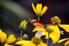 Common tiger butterfly. On yellow flowers Royalty Free Stock Image