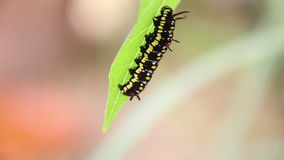 Common Tiger Caterpillar Or Danaus Genutia Caterpillar Moving On Leaves stock footage