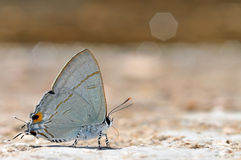 Common Tit butterfly. Of thailand background Stock Image