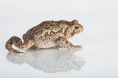 Common Toad Stock Photos