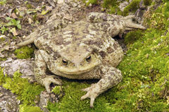 A common toad Stock Photo