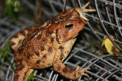 Common toad. Portrait of Common Toad on rolled up metal fence Royalty Free Stock Photos