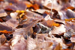 Common toad - autumnal leaves Stock Photo
