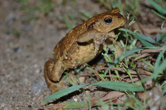 Common toad (B. bufo). Scrolling common toad (Bufo bufo) pond at night Stock Images