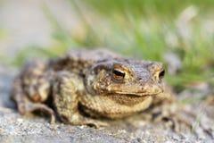 The common toad bufo bufo. A common toad bufo bufo Royalty Free Stock Photo