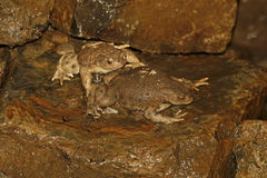 Common toad, Bufo bufo Royalty Free Stock Images