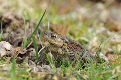 Common Toad - Bufo bufo Royalty Free Stock Photography