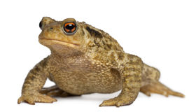 Common toad, bufo bufo, royalty free stock image