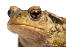 Common toad, bufo bufo, Stock Photos