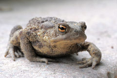 Common toad (Bufo Bufo). Closeup on common toad (Bufo Bufo Stock Photography