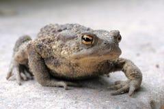 Common toad (Bufo Bufo). Closeup on common toad (Bufo Bufo stock photography
