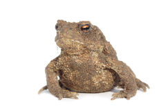 Common Toad (Bufo bufo) Royalty Free Stock Photography