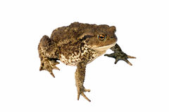 Common toad bufo bufo. Isolated on white stock photo