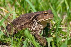 Common toad bufo bufo Royalty Free Stock Images