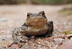 Common Toad (Bufo bufo) Royalty Free Stock Images