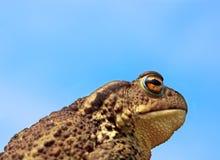 Common toad bufo bufo Royalty Free Stock Photo