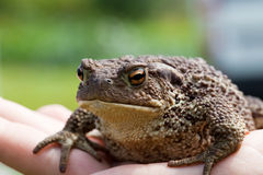 Common toad bufo bufo Stock Photos