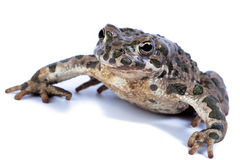 Common toad, (Bufo bufo) Stock Images