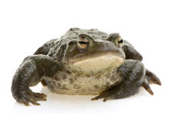 Common Toad - Bufo bufo Royalty Free Stock Photo