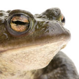 Common Toad - Bufo bufo Royalty Free Stock Photos