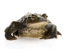 Common Toad - Bufo bufo Stock Photos