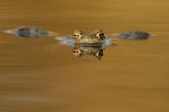 Common Toad (Bufo bufo). The colour in the water is from the sunlight. This toad you can also call european toad Royalty Free Stock Photography