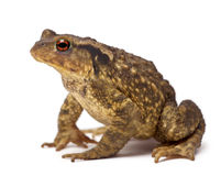 Free Common Toad, Bufo Bufo Royalty Free Stock Image - 25101376