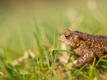 Common toad (Bufo bufo) Stock Images