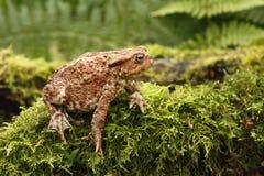 Common Toad, Bufo Bufo Stock Photos