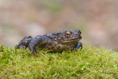 Common Toad (Bufo bufo) Royalty Free Stock Photo