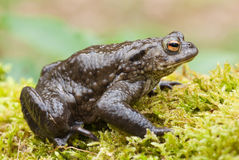 Common Toad (Bufo bufo) stock photos