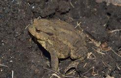 Common Toad. Bufo bufo Stock Photography