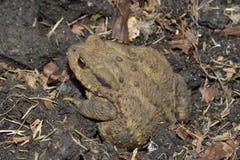 Common Toad. Bufo bufo Amphibian of gardens & wetlands Royalty Free Stock Photo