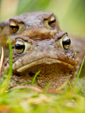 Common Toad (Bufo bufo) in amplex Stock Images