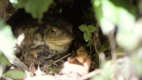 Common toad Bufo bufo breathing in undergrowth. Throat of amphibian with vocal sac moving, sitting under vegetation stock video footage