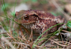 Common toad, bufo bufo Stock Image