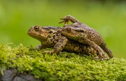 Common toad Bufo bufo in Czech Republc royalty free stock images