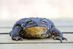 Common toad - bufo bufo Stock Images