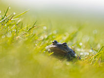Common toad (Bufo bufo) in a field Royalty Free Stock Images