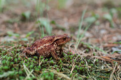 Common toad (bufo bufo) in forest stock photo